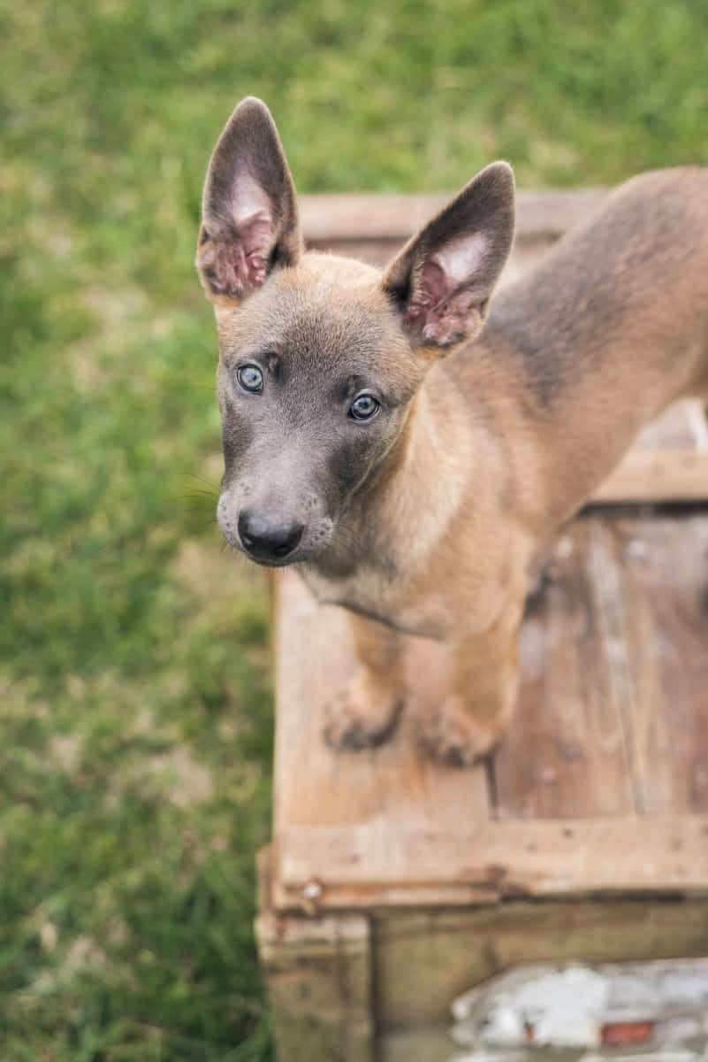 14 Best Places To Find Belgian Malinois Puppies - PetMerlin